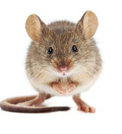 6 Signs Rodents might be in your Home