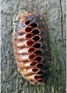 Life Cycle of Cockroaches - eggs