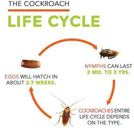 The life cycle of cockroaches